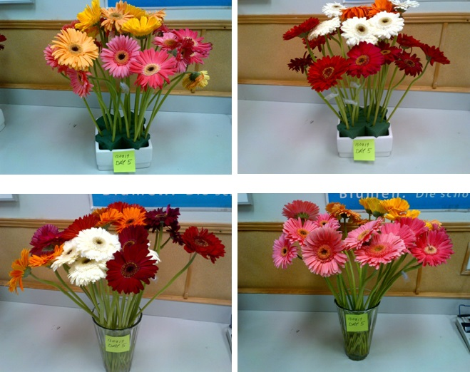 Gerber Daisies Field Of Flowers Wholesale