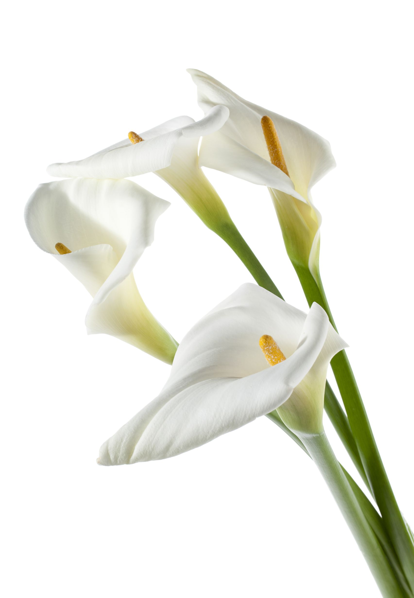 Todays special white calla lilies field of flowers wholesale callas white izmirmasajfo