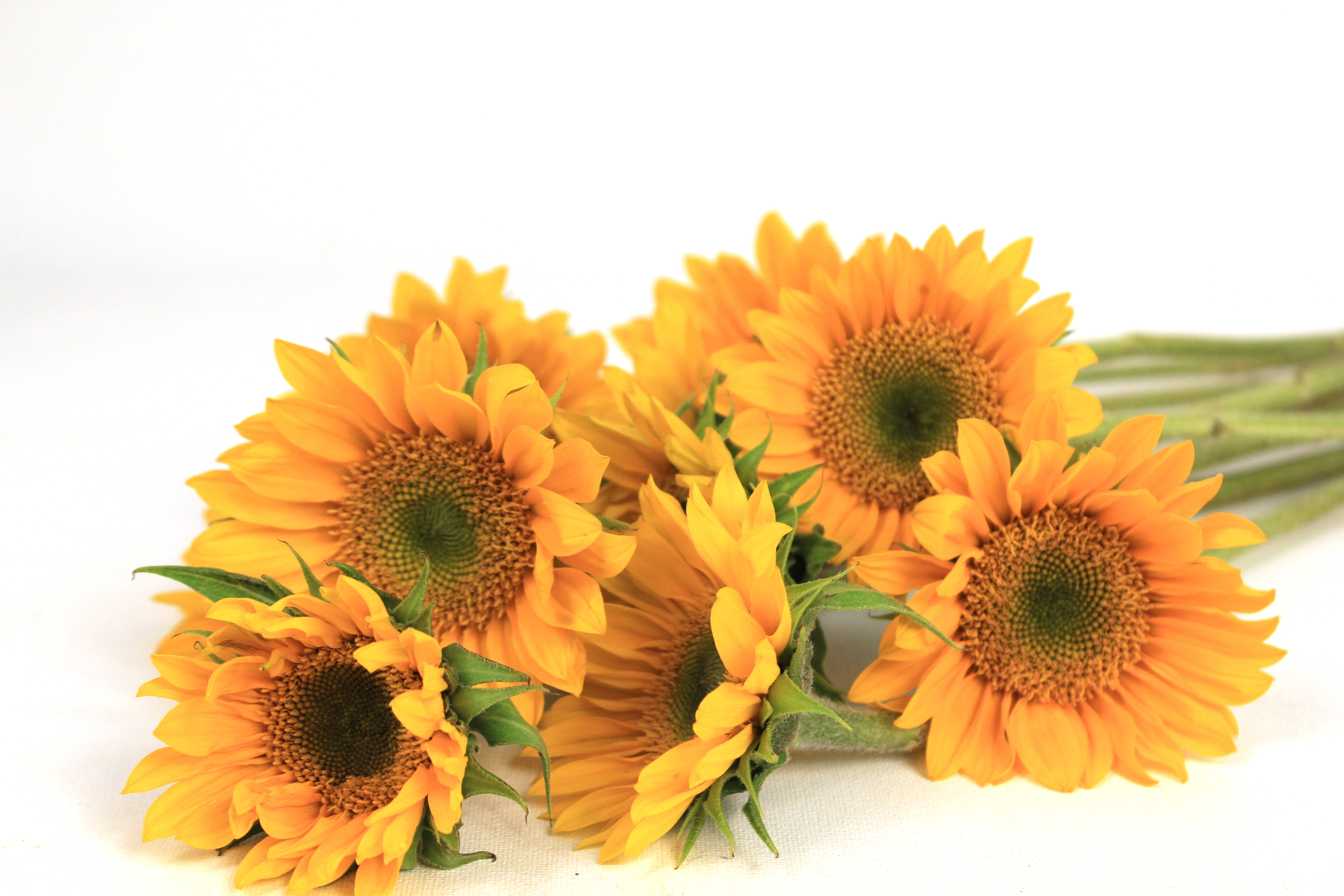 Todays Special Small Sunflowers With Green Centers Field Of